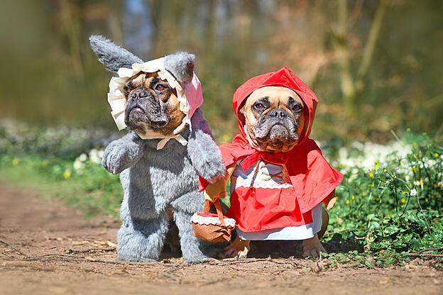 Cute pair of  small fawn colored French Bulldog dogs dressed up with homemade Halloween costumes as fairytale characters Little Red Riding Hood and Big Bad Wolf with full body costumes with fake arms standing in forest