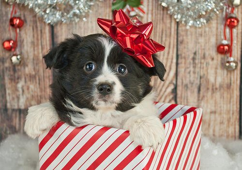 A cute black and white puppy with a bow on its head pops out of a wrapping papered box.