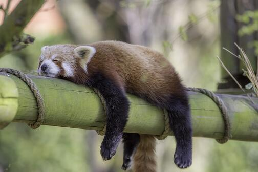 A cat-like animal rests lazily on a big chunk of bamboo. It appears to be napping.